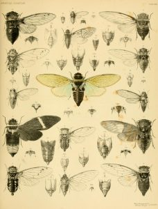 scientific cicada illustration